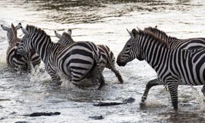 正依次�水过河的几匹斑马高清图片