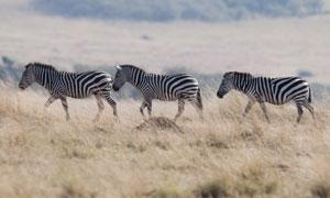 草原上排着队走的斑马摄影高清图片