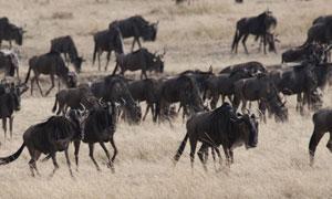 草原上成群结队的黑牛摄影高清图片