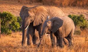 一同走在草原上的大象摄影高清图片