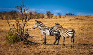 蓝天白云草原上的斑马摄影高清图片