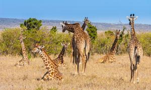 或站或卧的几只长颈鹿摄影高清图片