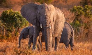 非洲草原上的几只大象摄影高清图片