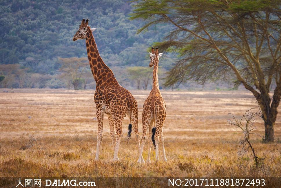 草原上的一大一小俩长颈鹿高清图片