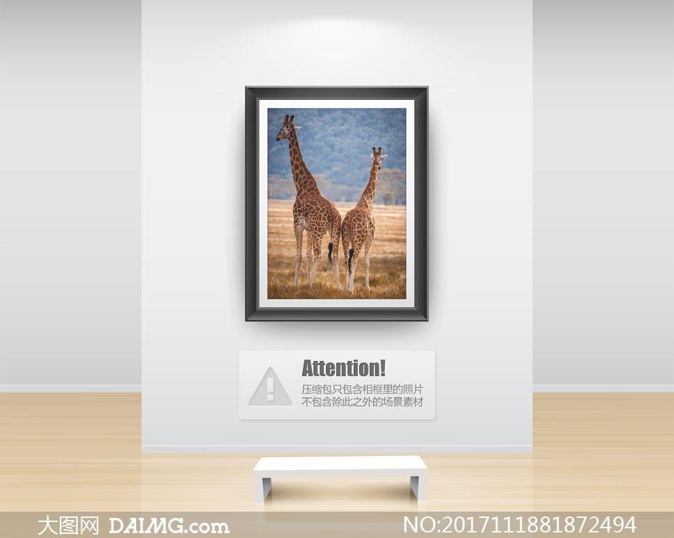 看着远处的两头长颈鹿摄影高清图片