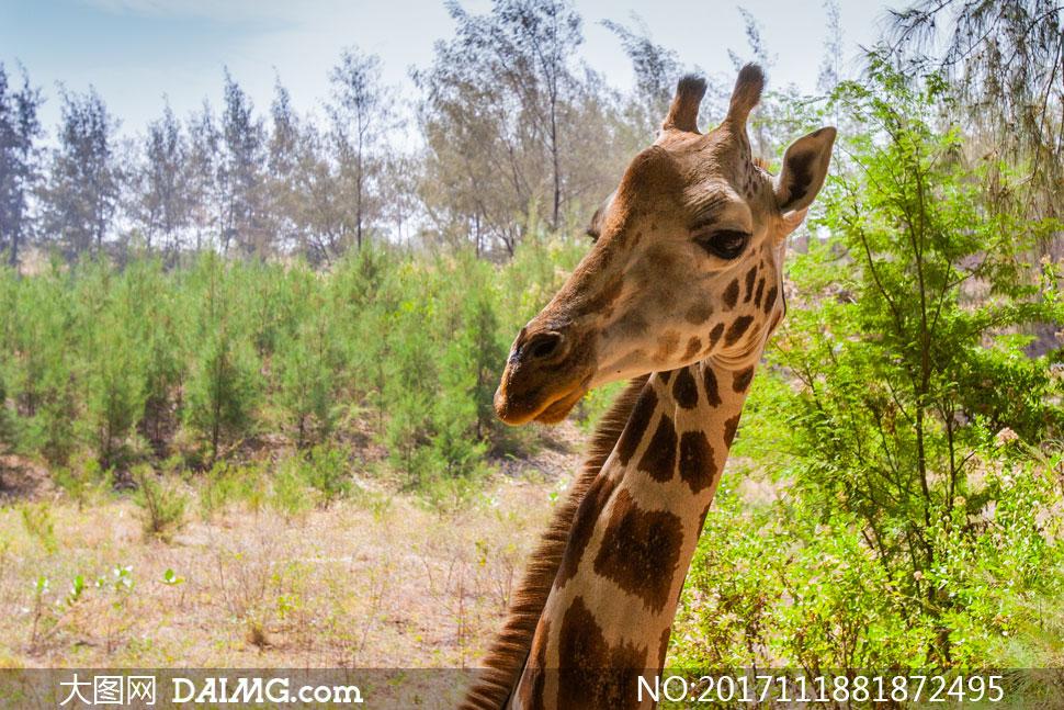 歪着脑袋的长颈鹿特写摄影高清图片