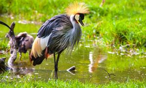 一只在水边觅食的冕鹤摄影高清图片