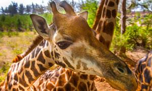 聚集扎堆的长颈鹿特写摄影高清图片