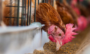 在啄食的母鸡近景特写摄影高清图片