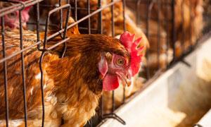 养鸡场在鸡笼中的母鸡摄影高清图片