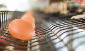 养鸡场母鸡下的蛋特写摄影高清图片