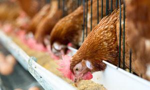 在纷纷进食的母鸡特写摄影高清图片