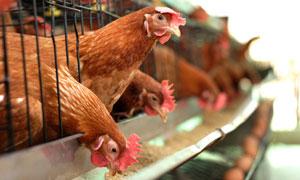 在吃食的母鸡近景微距摄影高清图片