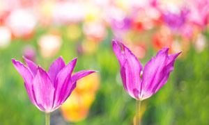 紫色花卉植物特写微距摄影高清图片