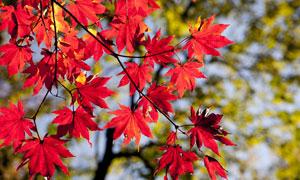 秋天树枝上的红叶特写摄影高清图片