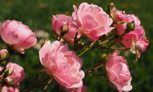 粉红色的玫瑰花卉植物摄影高清图片