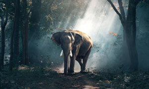 走在树林小路上的大象摄影高清图片