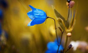 蓝色鲜花植物微距特写摄影高清图片
