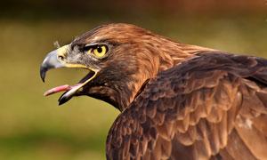 一只张着嘴的老鹰侧面摄影高清图片