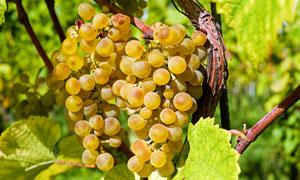 枝头上诱人的美味葡萄摄影高清图片