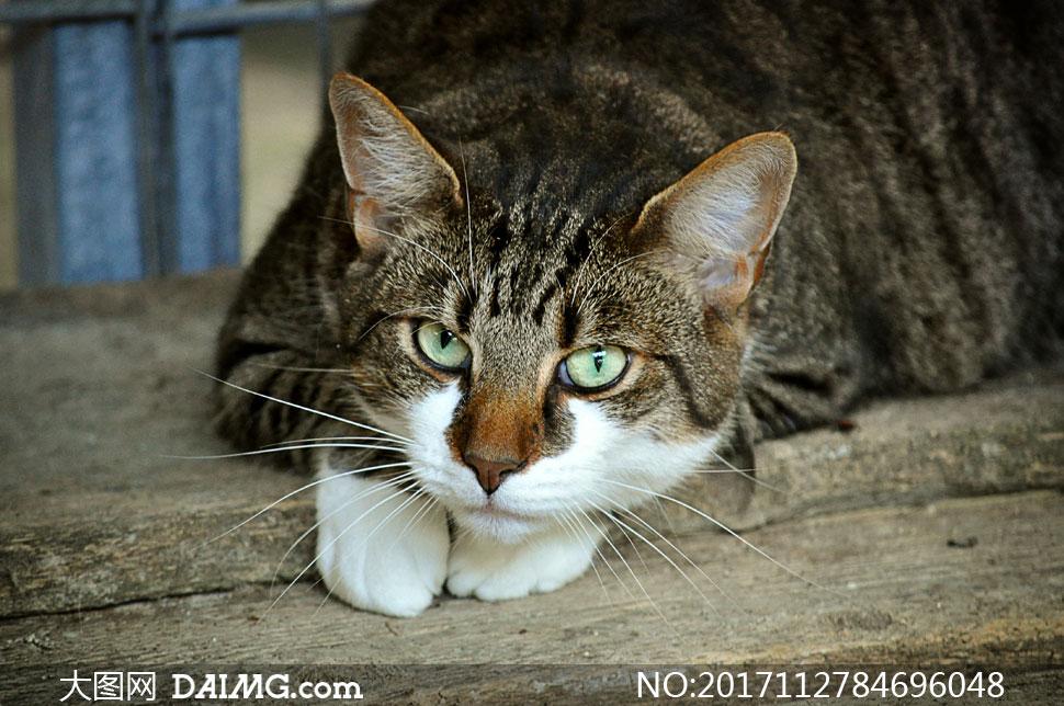 趴着的可爱小猫咪特写摄影高清图片