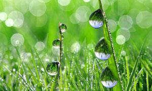 草丛叶子上的露珠微距摄影高清图片