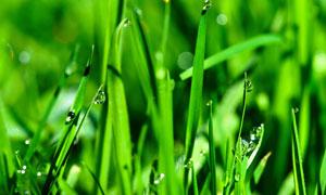 挂晶莹水珠的植物幼苗摄影高清图片