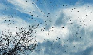 漫天飞舞的鸟群PS笔刷