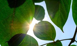可清晰看到叶脉的树叶逆光摄影图片