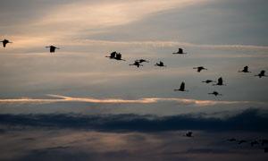 一起往南飞的大雁剪影摄影高清图片