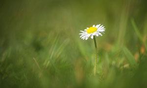 草丛中的一株菊花特写摄影高清图片