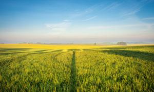 望不到边际的庄稼作物摄影高清图片