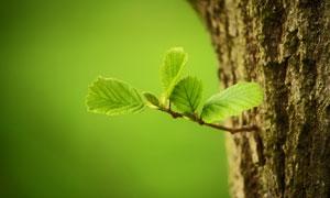 树干上长出的新枝特写摄影高清图片