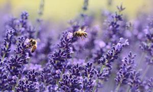 引来蜜蜂的紫色薰衣草摄影高清图片