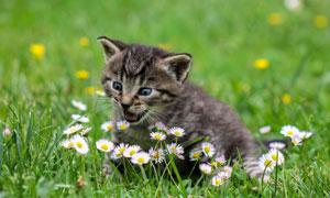 冲着小菊花叫唤的小猫摄影高清图片