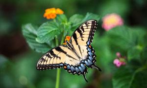 花朵上驻足停留的蝴蝶摄影高清图片