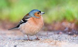 圆嘟嘟的小鸟近景特写摄影高清图片