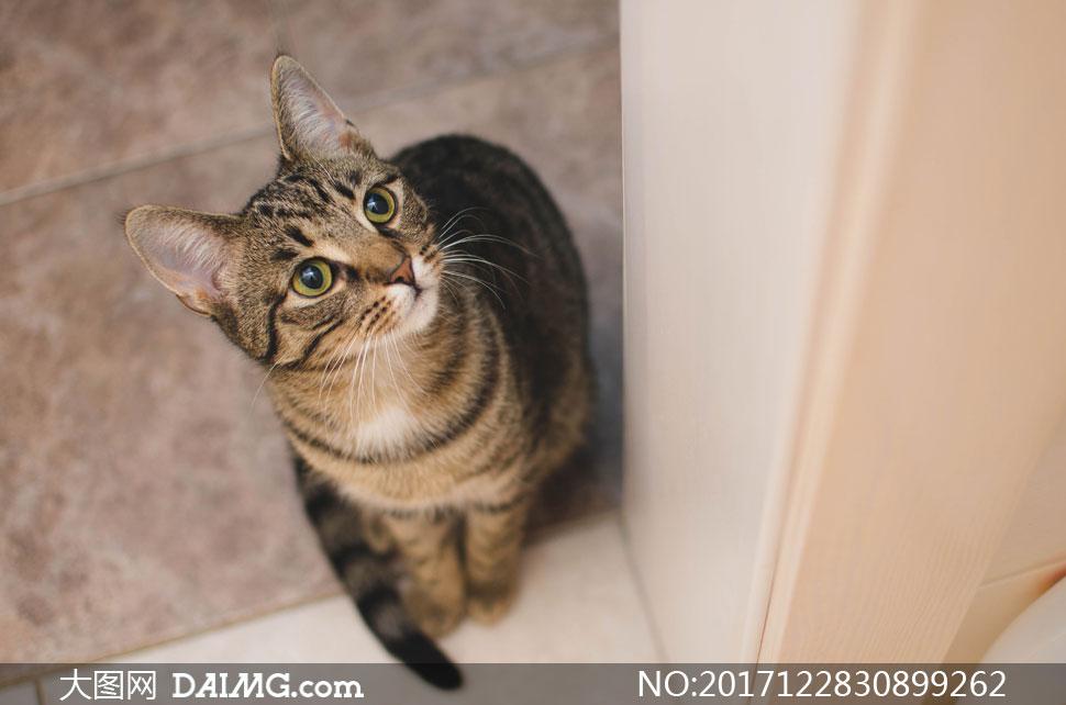 躺着的可爱猫主子特写摄影高清图片         低头吐着舌头的小猫咪