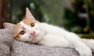躺着的可爱猫主子特写摄影高清图片