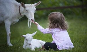 在吃递过来食物的山羊摄影高清图片