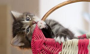 在筐里独自玩耍的猫咪摄影高清图片