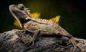 树干上的一只蜥蜴特写摄影高清图片