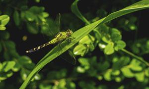 绿叶上的一只蜻蜓特写摄影高清图片