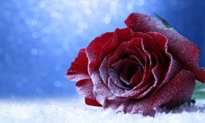梦幻光斑中的红色玫瑰摄影高清图片