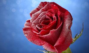 梦幻光斑衬托的玫瑰花摄影高清图片
