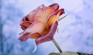 冰霜包裹着的玫瑰特写摄影高清图片