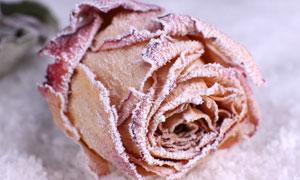 结了一层冰霜的玫瑰花摄影高清图片