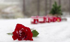 摆放在雪地上的玫瑰花摄影高清图片