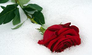 躺在雪地上的红色玫瑰摄影高清图片