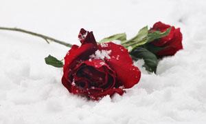 遗落在雪地上的玫瑰花摄影高清图片